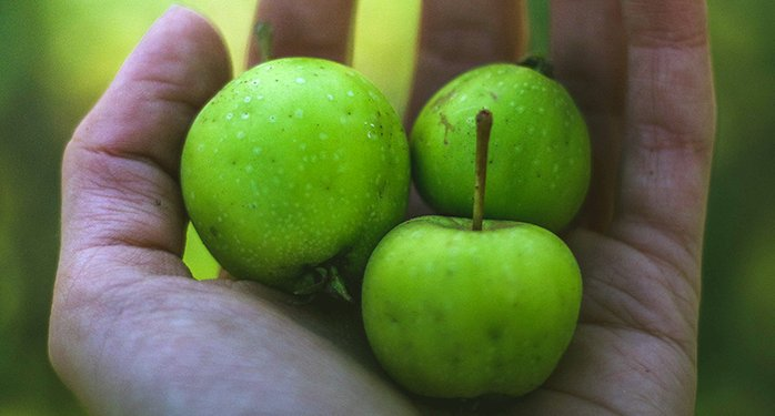 Hand holding three green apples